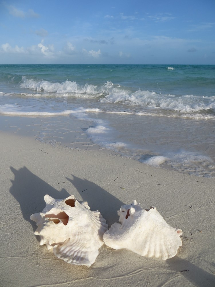 Conch shells on Long Bay Beach