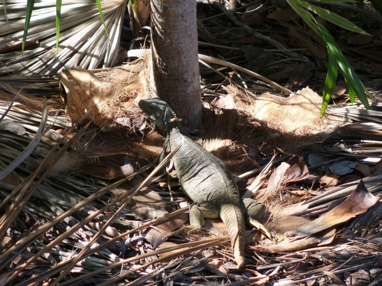This poor iguana was involved in a little brawl and lost its tail.  But no worries, iguanas are capable of growing their tails again.