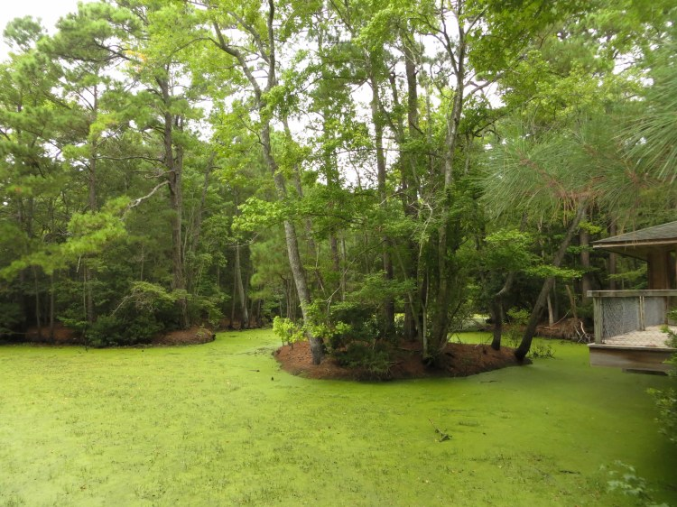 A green pond at the entrance of