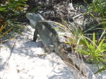 Little Water Cay: A Visit with Turks & Caicos' Rock Iguanas