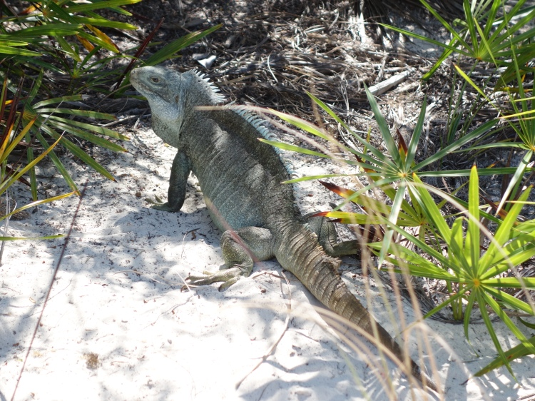 A rock iguana on Turks and Caicos' Little Water Cay