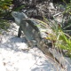 Little Water Cay: A Visit with Turks and Caicos' Rock Iguanas
