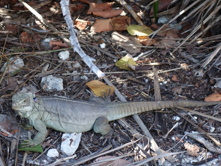 Some of the iguanas wore tags around their necks as a tracking device.